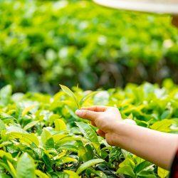 tea-leaves-4547923_960_720